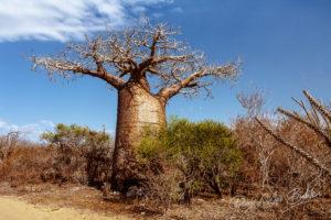 Baobab tree and thorny vegetation near Andavadoaka, western Madagascar