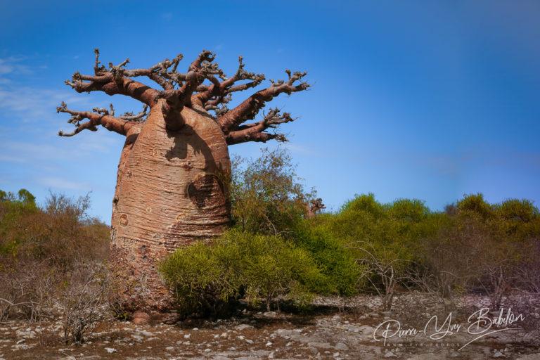 Baobab tree and savannah