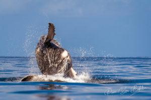Jeune baleineau à bosse sautant, à Madagascar