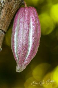 Cabosse de cacao de Madagascar sur le cacaoyer