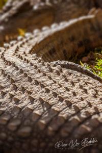 Crocodile du Nil, Madagascar