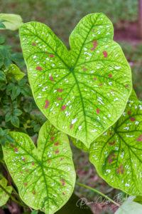 Caladium bicolore