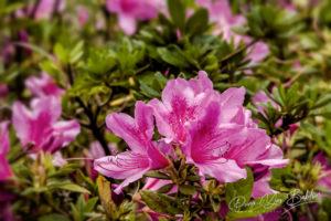 Azalées roses (Rhododendron ponticum)