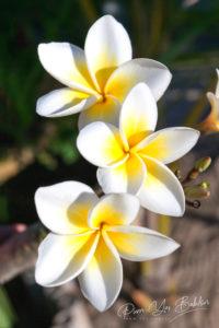 Fleurs de frangipanier (plumeria)