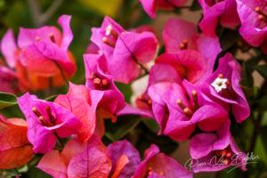 Bougainvillier rose (Bougainvillea spectabilis)