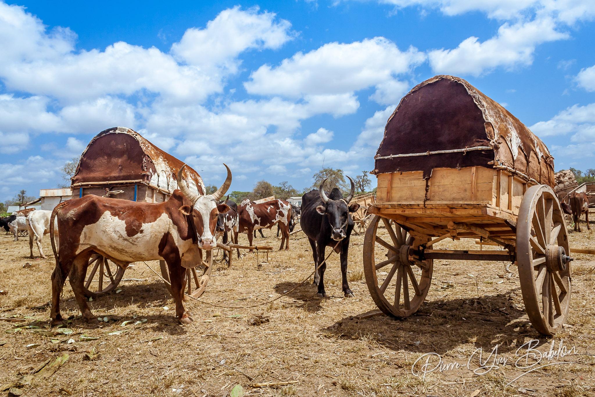 Zebu market in Madagascar