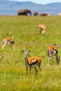 Un groupe de Gazelles de Grant avec des éléphants en arrière-plan Kenya