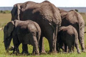 Famille d'éléphants marchant dans la savane africaine