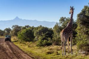 Girafe observant des touristes dans la savane africaine, au Kenya