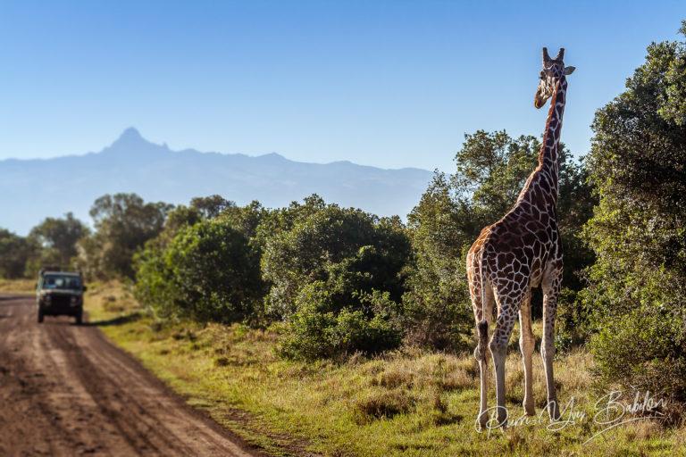 Giraffe looking at tourists