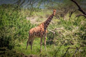 Girafe d'Afrique, Réserve de Maasai Mara, Kenya