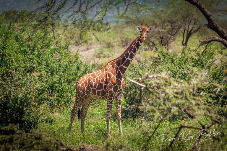African giraffe, Maasai Mara Game Reserve, Kenya