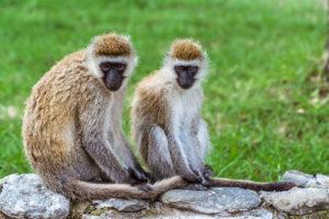 Deux singes dans la réserve de Nakuru, Kenya