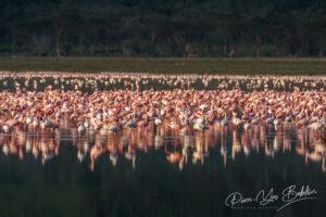 Flamants roses dans le lac Nakuru, Kenya