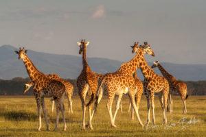Girafes de Rothschild (Giraffa camelopardalis) dans le parc national du lac Nakuru, Kenya