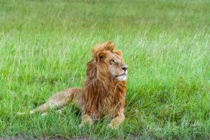 Lion d'Afrique sauvage se reposant dans l'herbe. Kenya
