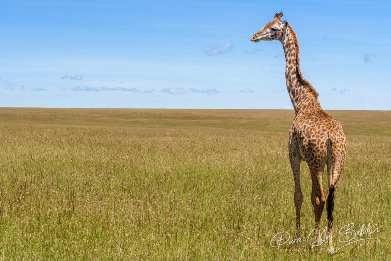 Girafe dans la savane africaine, Kenya