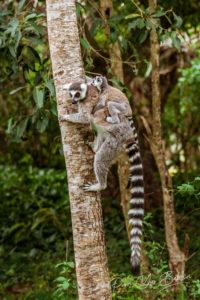 Lemurs Catta (Maki mococo), Madagascar