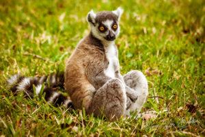 Lemur Catta (Maki mococo), Madagascar.