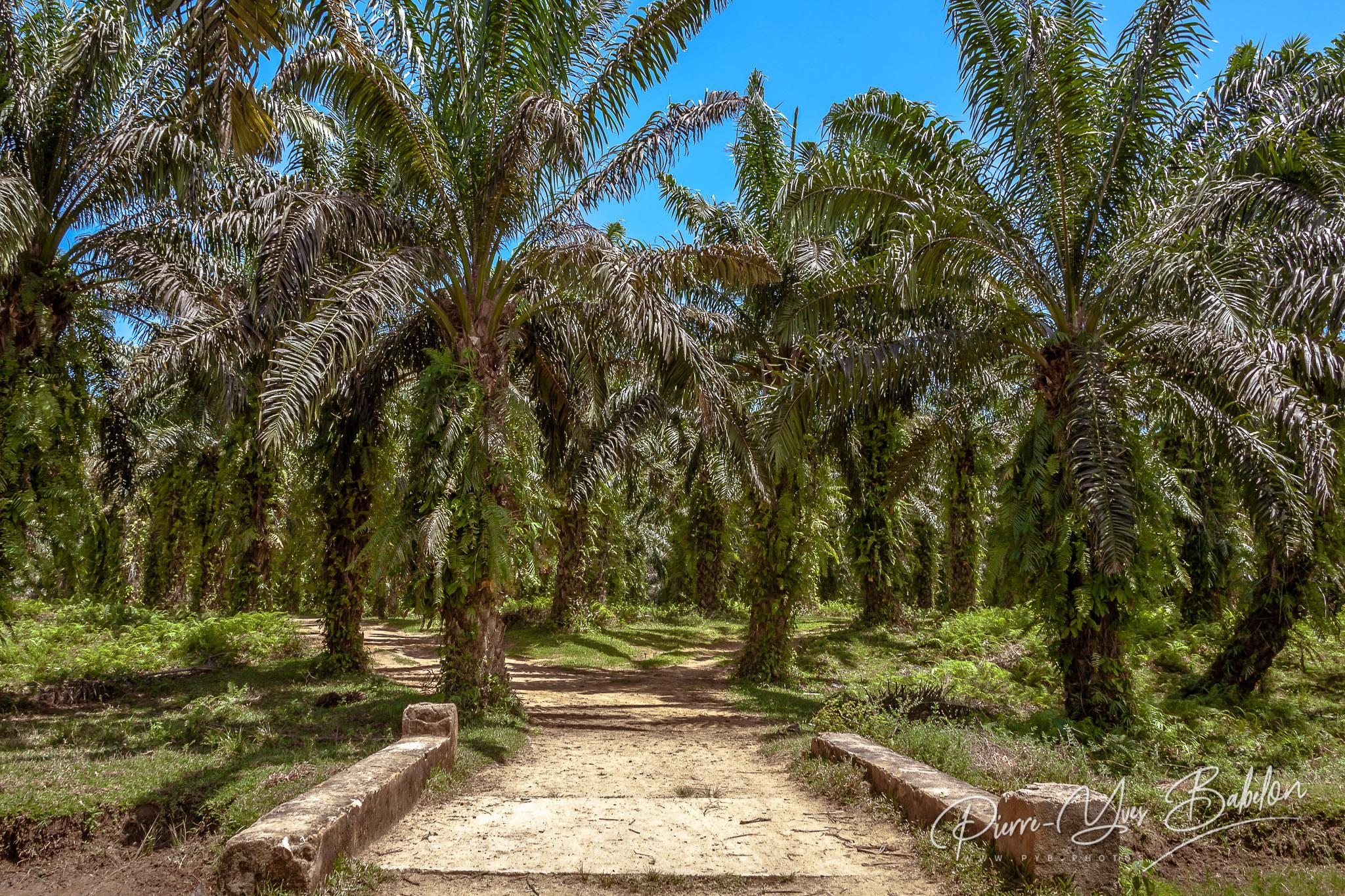 Plantation de palmiers à huile à Madagascar
