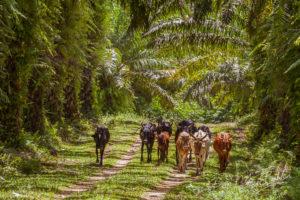 Troupeau de zébus, Madagascar