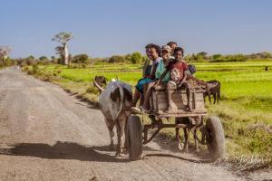 Malagasy people of Sakalava ethnicity moving in a zebu cart near Morombe in southwest Madagascar on October 26, 2016.