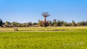 Baobab et rizière au sud-ouest de Madagascar