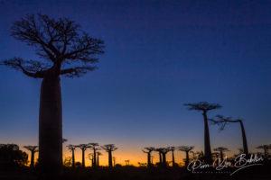 Coucher de soleil sur l'allée des Baobabs de Morondava, ouest de Madagascar