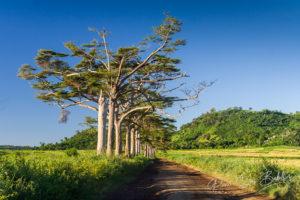 Magnifique allée d'arbres à l'intérieur de l'île de Nosy Be, Madagascar