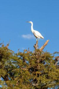 Héron blanc, Madagascar