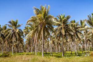 Plantation de cocotiers à Sambava, à l'est de Madagascar