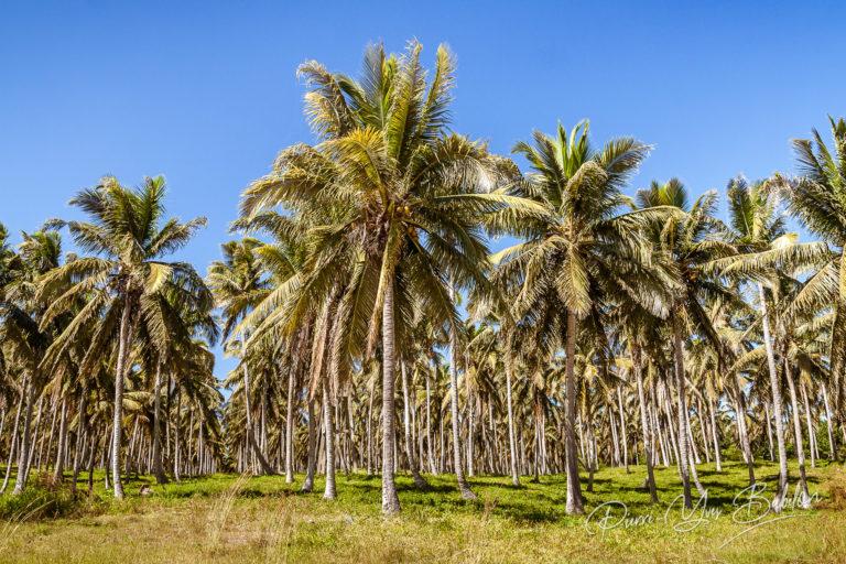 Plantation de cocotiers à Madagascar