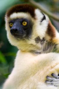 Sifaka (Propithecus verreauxi), Madagascar