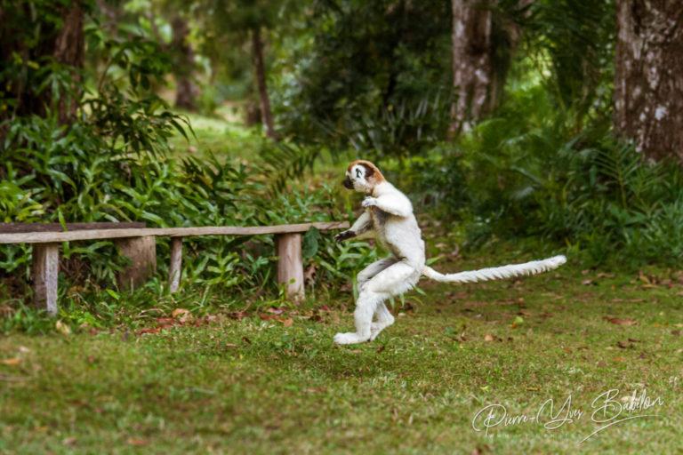 Sifaka lemur