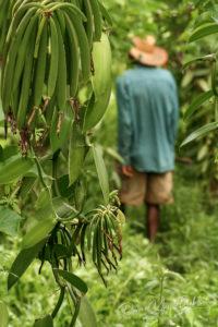 Un fermier malgache dans sa plantation de vanille près de Sambava, Madagascar