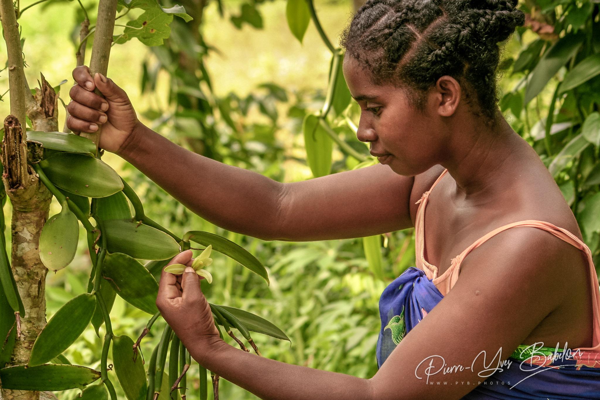 Pollinisation manuelle de la vanille
