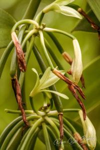 Vanilla planifolia, fleur de vanille