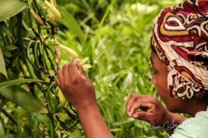 Une femme malgache pollinisant manuellement une fleur de vanille