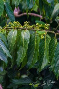 Fleurs d'Ylang-Ylang sur arbre, pour la fabrication d'huile essentielle à Nosy Be, Madagascar