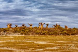 Forêt de baobabs près d'Andavadoaka, à l'ouest de Madagascar