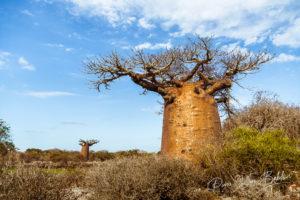 Baobab tree and dry vegetation in western Madagascar