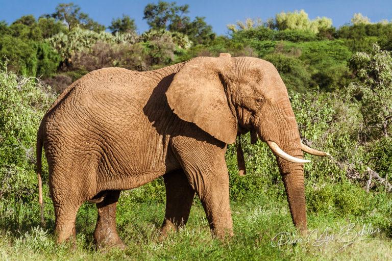 Single adult elephant in bush