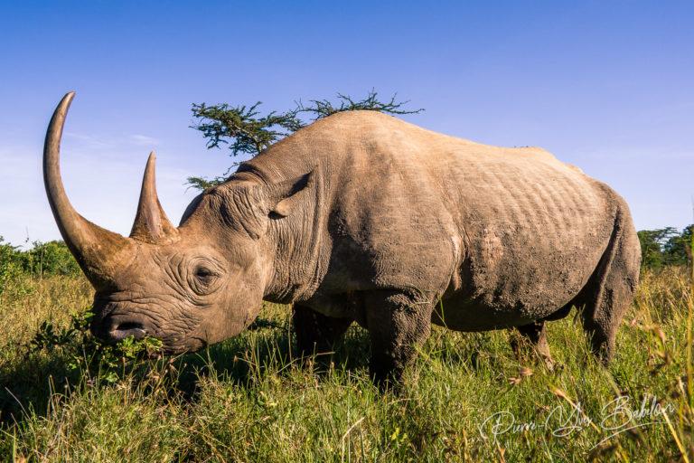 Black rhinoceros in the african savannah