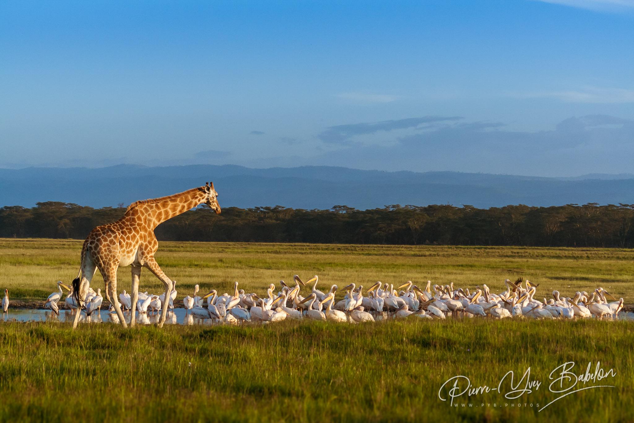 Rothschild's Giraffe (Giraffa camelopardalis) and pelicans