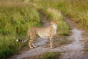 Guépard (Acinonyx jubatus), Masai Mara, Kenya