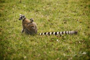 Lemurs Catta (Maki mococo), Madagascar.