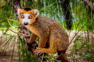 Jeune lémurien couronné (eulemur coronatus), Madagascar.