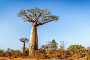 Baobab tree in the bush of Morombe,  Madagascar