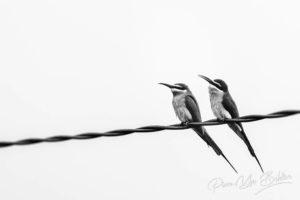 Un couple de guêpiers de Madagascar sur un câble téléphonique