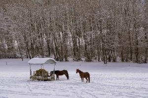 Chevaux dans le paddock enneigé, Grenoble, France